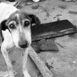 寂しげな犬、犬の死因第1位「フィラリア」