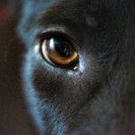犬の目、「アイコンタクト」基本トレーニング